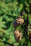 Fir cones on the branch. royalty free stock photo