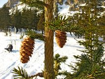 Fir cones on the branch. stock photography
