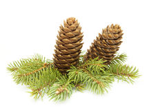Fir cones   . Stock Images