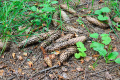 Fir cones in the forest Stock Photography