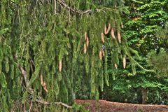 Fir with Cones. A grove of tiny young birch trees conveying tranquility and youthfulness of nature Royalty Free Stock Photo