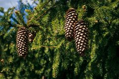 Fir cones royalty free stock images