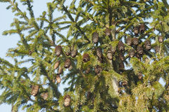 Fir cones. Hanging on the branches of spruce cones Royalty Free Stock Image