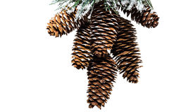 Fir cones in high resolution isolated on a white background. For a Christmas design Royalty Free Stock Image