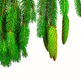 Fir cones, isolated on white background Stock Images