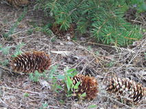 Fir-cones are like hedgehogs searching for a food Stock Images