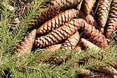 Fir cones. Lying on the ground Stock Photos