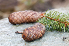 Fir cones and spruce needle on a rock Royalty Free Stock Photography