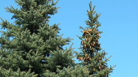 Fir cones stock video footage