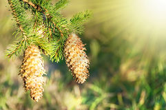Fir cones in sunlight Stock Photo