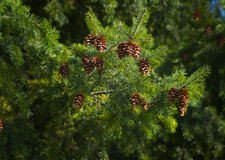 Fir cones on tree Royalty Free Stock Image