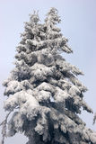 Fir covered with snow Royalty Free Stock Photo
