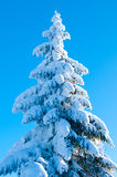 Fir Covered With Snow Against Light Royalty Free Stock Image