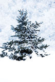 Fir covered with snow Stock Image