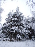 Fir covered with snow Stock Photos
