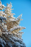 Fir covered by snow and sky beautiful landscape Royalty Free Stock Photos