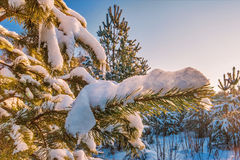 Fir covered with snow Royalty Free Stock Image