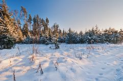 Fir branch covered with snow Royalty Free Stock Images