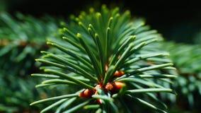 Fir. Detail fir in the garden stock video