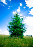Fir Evergreen Tree royalty free stock photography