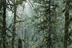 Fir evergreen trees in an old growth forest. Douglas Fir evergreen trees in an old growth forest in the Pacific Northwest - fall season royalty free stock photos