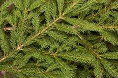 Fir. Fir-tree. Stock Photos