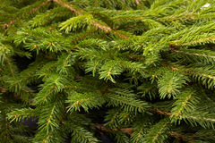 Fir. Fir-tree. Royalty Free Stock Photography