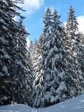 Fir, Firs, Trees, Snowy, Winter Royalty Free Stock Image