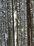 Fir, Firs, Trees, Snowy, Winter Royalty Free Stock Photos