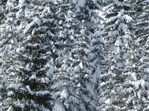 Fir, Firs, Trees, Snowy, Winter Stock Image