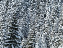 Fir, Firs, Trees, Snowy, Winter Royalty Free Stock Photo