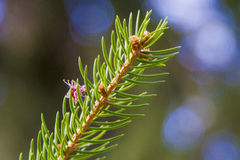 Fir. Foreground of a fir Royalty Free Stock Photos