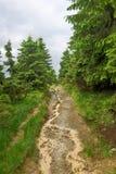 Fir forest Stock Images