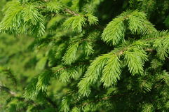 fir forest Stock Images