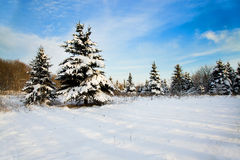 Fir forest Stock Photography