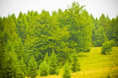 Fir forest. Green young fir tree forest Stock Photo