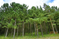 Fir Forest stock image