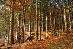 Fir forest in autumn Stock Images