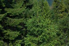 Fir forest Stock Image