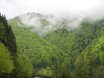 Fir forest in clouds. Mountain fir forest in clouds Royalty Free Stock Image