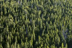 Fir forest in Colorado. Stock Photo