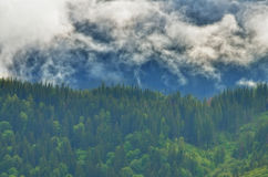 Fir forest cover by clouds Royalty Free Stock Image