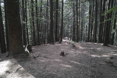 Fir forest in daytime Royalty Free Stock Photo