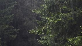 Fir forest in fog, clouds and rain. In Carpathian Transylvania forest in Romania stock video footage