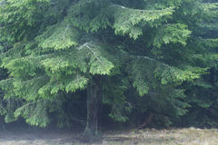 Fir forest foggy day Royalty Free Stock Images
