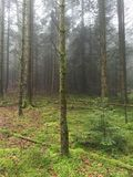 Fir forest on a foggy day Royalty Free Stock Images