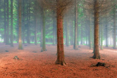 Fir forest in the fresh misty morning Royalty Free Stock Photography