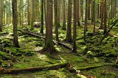 Fir forest reserve. Typical fir forest reserve (Liplje, Slovenia, EU Royalty Free Stock Photos