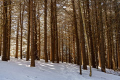 Fir Forest of Roan. Roan Mountain Royalty Free Stock Photography