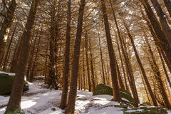 Fir Forest of Roan. Roan Mountain Stock Images